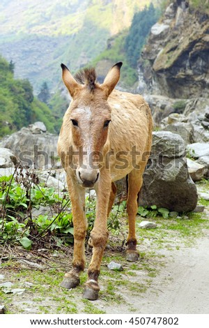 Old donkey on a mountain road on the Annapurna Circuit track - stock photo