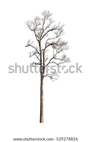 old dry tree isolated on white background