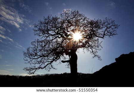 Old eak with sun and blue background - stock photo