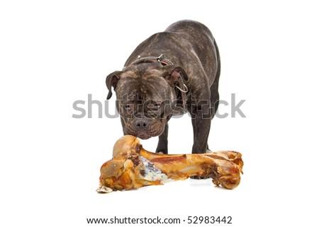 old English bulldog eating a big bone with flesh  isolated on a white background - stock photo