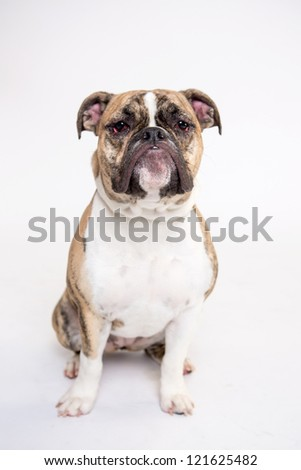 Old English Bulldog isolated on white - stock photo