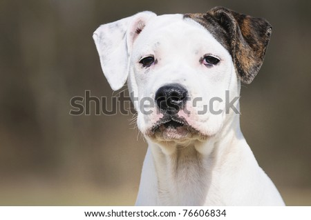 old english bulldog whelp 3 months original race alte englische Bulldogge - stock photo