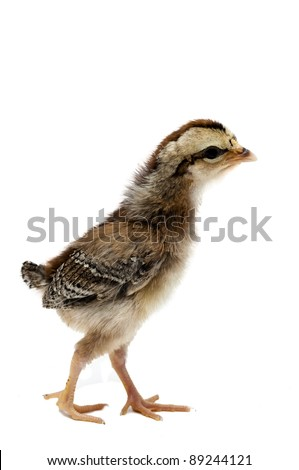Old English Game Silver Duck wing Chick