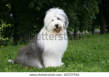 old english sheepdog bobtail - stock photo