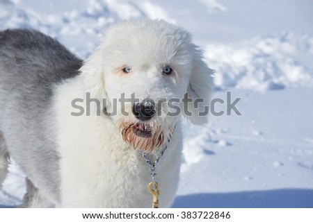 Old English Sheepdog having fun playing in the snowy Colorado winter.
