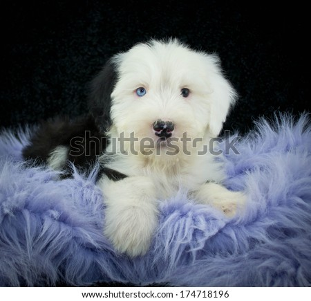 Old English Sheepdog puppy on a purple blanket. With a black background. - stock photo