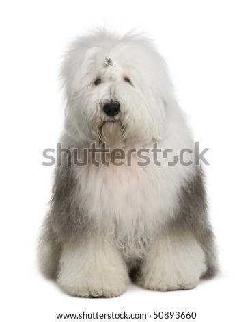Old English Sheepdog, 1 Year old, sitting in front of white background