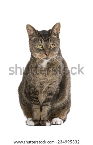 old european-shorthair cat in front of a white background - stock photo