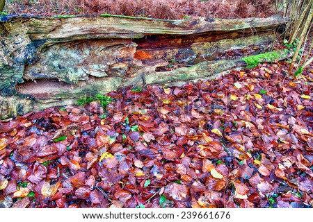 Old fallen rotting tree in forest - stock photo