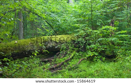 Old fallen tree lying, moss wrapped among fresh green linden tree branches - stock photo