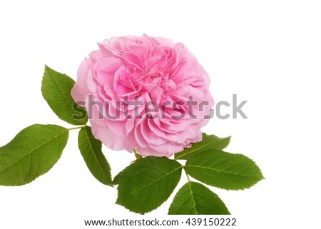 old fashioned english rose
