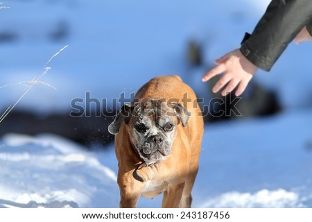old female boxer dog running towards human hand on winter day - stock photo
