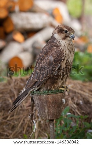 Old female falcon sitting outdoors