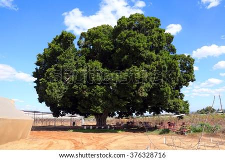 old ficus tree protected ficus tree agriculture landscape israel - Ficus Trees