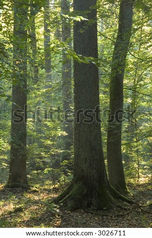Old forest in the morning,end of summer, boreal forest, poland,europe