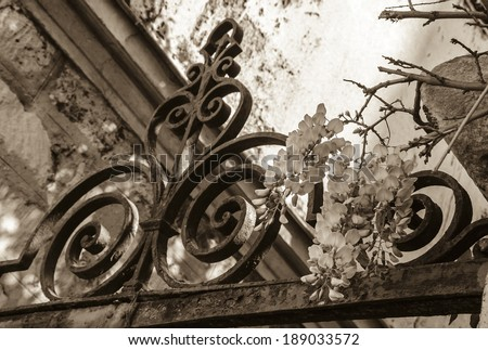 Old forging gate with ornament (entry to abandoned manor)  and stone brick wall overgrown with blooming Wisteria flowers . Light and shadow. Aged photo. Sepia. - stock photo