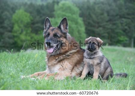 old german shepherd and a german shepherd puppy - stock photo