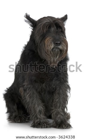 Old Giant Schnauzer in front of a white background