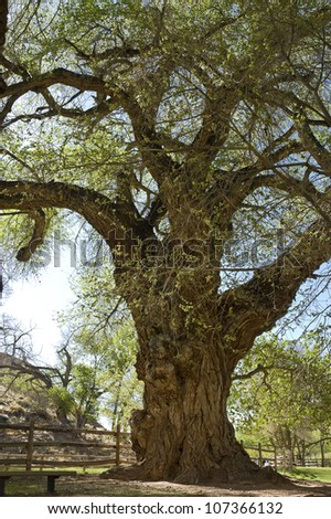 old gnarled tree close view  in State park of Utah , USA - stock photo