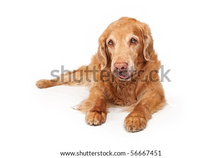 Old Golden Retriever dog laying down and isolated on white - stock photo