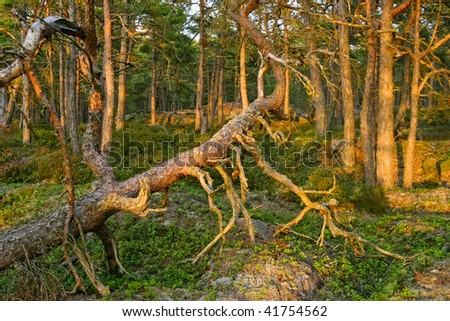 Old growth forest in sunset - stock photo