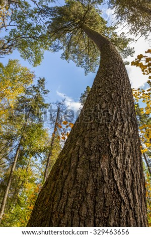Old Growth White Pine Tree (Pinus strobus) with a Curved Trunk - Algonquin Provincial Park, Ontario, Canada - stock photo