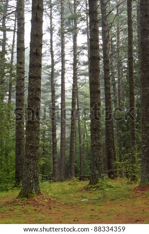 Old growth yellow pine trees on a foggy morning at Sharp Bridge Campground in the Adirondack Park in New York