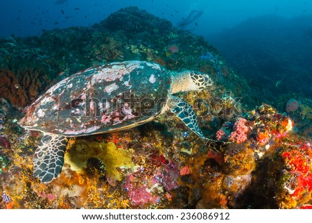 Old Hawksbill Turtle feeding on a tropical coral reef - stock photo