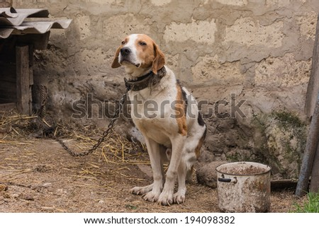 Old Hunting dog near his kennel - stock photo