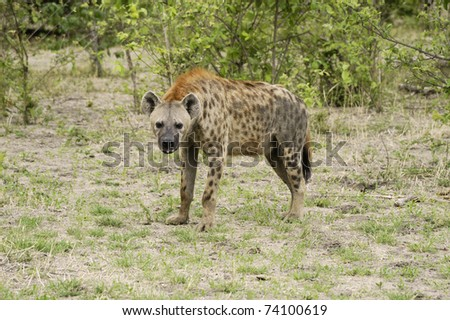 Old hyena standing