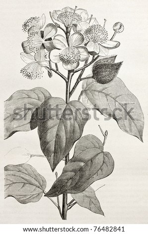 Old illustration of Achiote (Bixa Orellana), the source of natural pigment annatto, produced from the fruit. Created by Rouyer, after watercolour of  Marcoy, published on Le Tour du Monde, Paris, 1864 - stock photo
