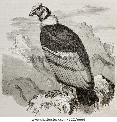 Old illustration of Andean Condor (Vultur gryphus). Created by Kretschmer and Jahrmargt, published on Merveilles de la Nature, Bailliere et fils, Paris, 1878 - stock photo