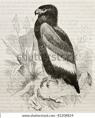 Old illustration of Bateleur (Terathopius ecaudatus). Created by Kretschmer and Wendt, published on Merveilles de la Nature, Bailliere et fils, Paris, 1878 - stock photo