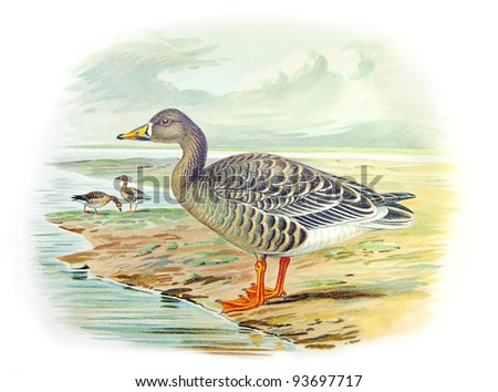 Old illustration of Bean Goose (Melanonyx arvensis). Created by Frederick William Frohawk. Published on Geese of Russia by Sergey Alferaki, Moscow, 1904