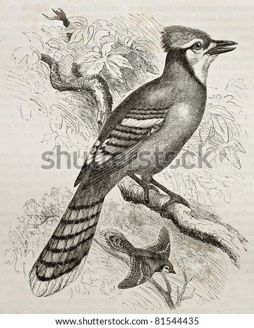 Old illustration of Blue Jay (Cyanocitta cristata). Created by Kretschmer and Jahrmargt, published on Merveilles de la Nature, Bailliere et fils, Paris, 1878 - stock photo