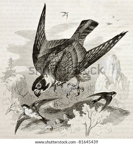 Old illustration of Eurasian Hobby (Falco subbuteo). Created by Kretschmer, published on Merveilles de la Nature, Bailliere et fils, Paris, 1878 - stock photo