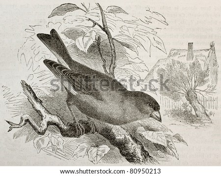 Old illustration of European Greenfinch (Carduelis chloris). Created by Kretschmer and Jahrmargt, published on Merveilles de la Nature, Bailliere et fils, Paris, 1878 - stock photo