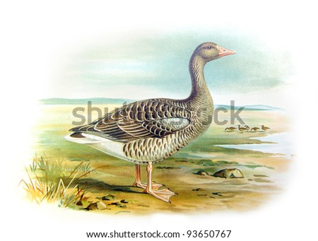 Old illustration of Greylag Goose (Anser Anser). Created by Frederick William Frohawk. Published on Geese of Russia by Sergey Alferaki, Moscow, 1904