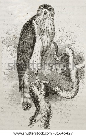Old illustration of Northern Goshawk (Accipiter gentilis). Created by Kretschmer and Schmid, published on Merveilles de la Nature, Bailliere et fils, Paris, 1878 - stock photo