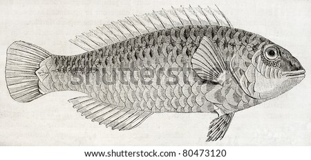 Old illustration of Parrotfish (Sparisoma cretense) that lives close to the shore in Crete. By unidentified author, published on Magasin Pittoresque, Paris, 1850 - stock photo