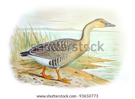 Old illustration of Swan Goose (Anser cygnoides). Created by Frederick William Frohawk. Published on Geese of Russia by Sergey Alferaki, Moscow, 1904