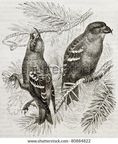 Old illustration of Two-barred Crossbill (Loxya leucoptera). Created by Kretschmer and Wenot, published on Merveilles de la Nature, Bailliere et fils, Paris, 1878 - stock photo