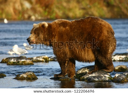 old kodiak brown bear looking for salmon in the river - stock photo