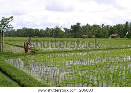 Old lady preparing an offer in a ricefield near Ubud, Bali - stock photo