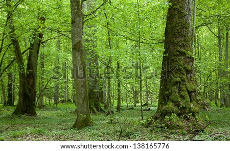 Old linden trees at summertime Bialowieza Forest stand - stock photo