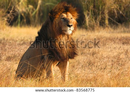 Old lion in sunset light in Ngorongoro crater - stock photo
