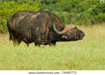 old male buffalo chewing some green lush grass - stock photo