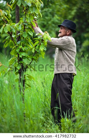 Old man farmer in his orchard of cherry trees - stock photo