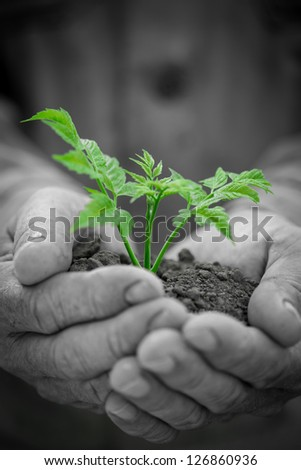 Old man hands holding young green tree against grunge background. Ecology concept