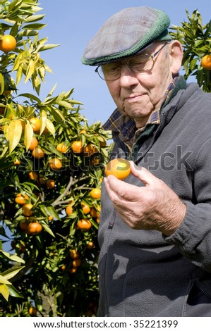 old man picking Satsuma from tree out of garden
